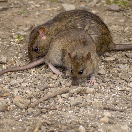 How Rodent Exclusion Works