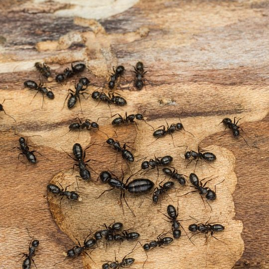 Ant colony and queen