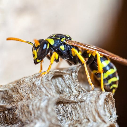 Do Wasps Hibernate?