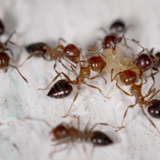 Types of Ants in Virginia