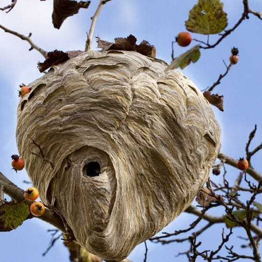 How to Remove a Wasp Nest by Yourself