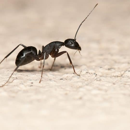 Is it Necessary to Remove Ants from Your Home?