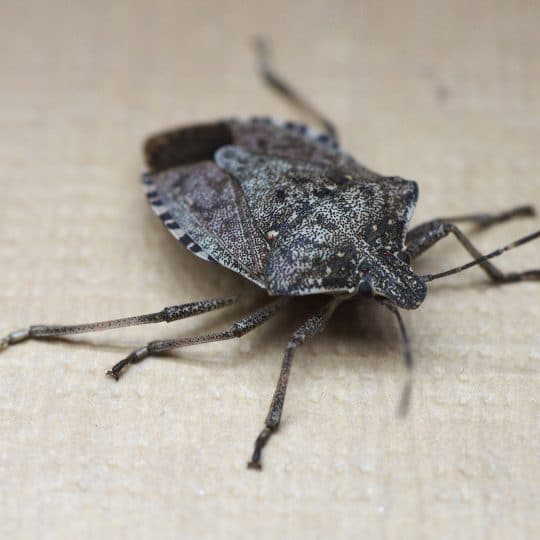 What You Should Know About Stink Bugs