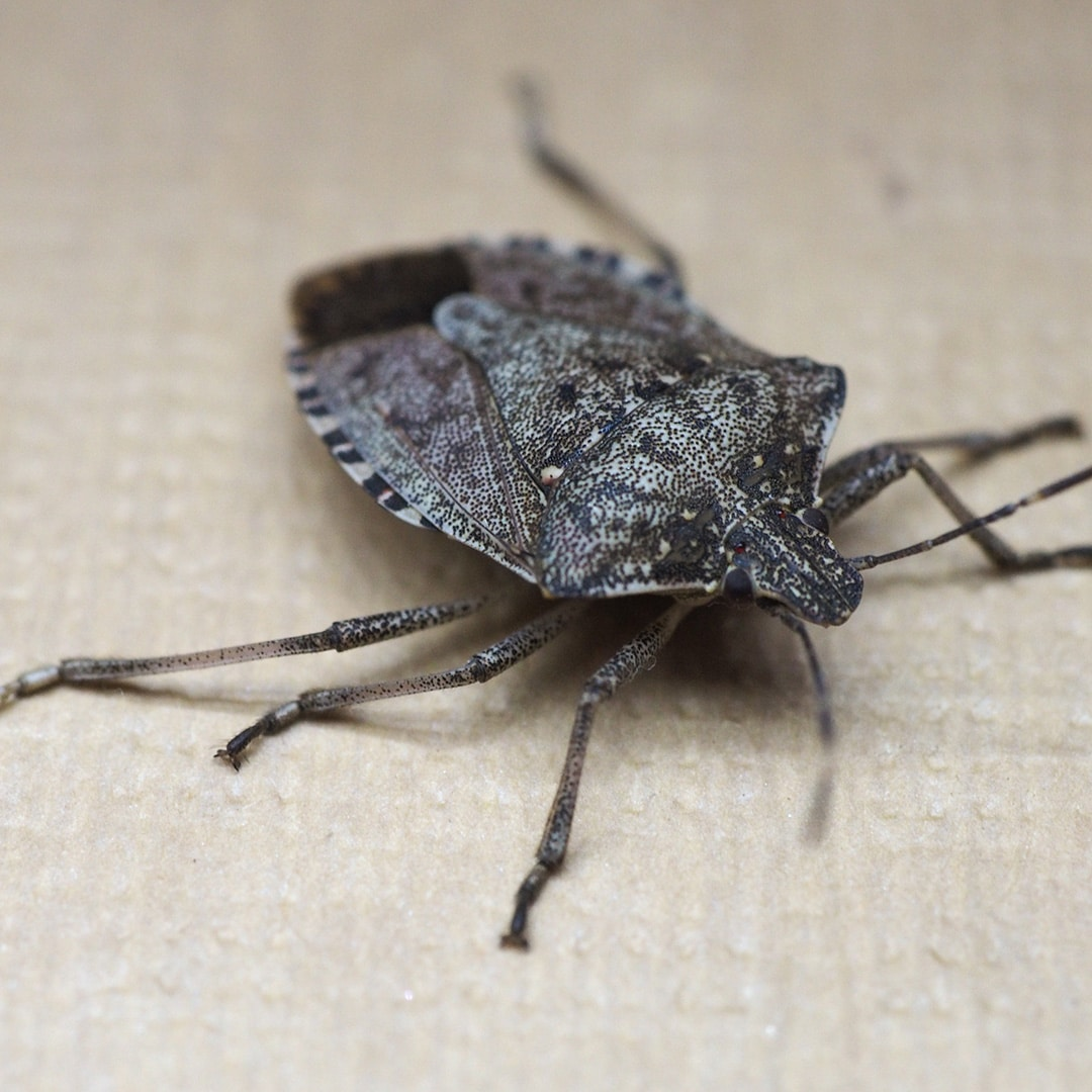 Why Do Stink Bugs Smell? · ExtermPRO