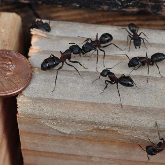 Should You Worry about Carpenter Ants?