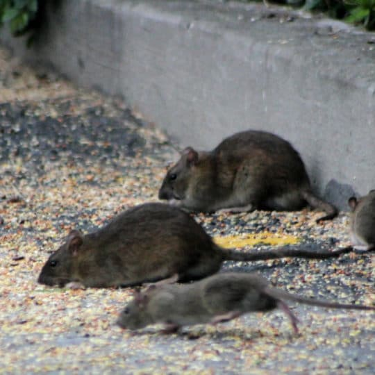 Five Signs You Have a Rat Infestation