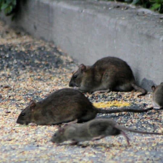 Mouse Versus Rat Infestation