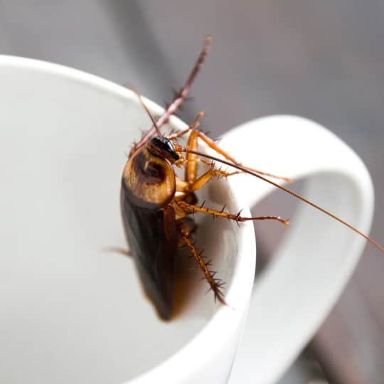 Are Cockroaches Dangerous?
