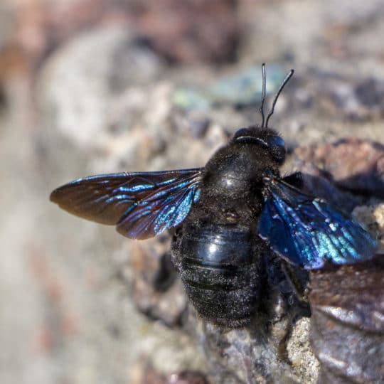 Five Fascinating Facts about Carpenter Bees