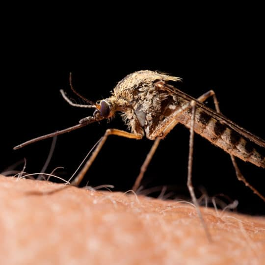 Do Mosquitoes Hibernate?