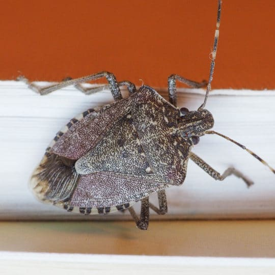 How to Get Rid of Stink Bugs without Squishing Them