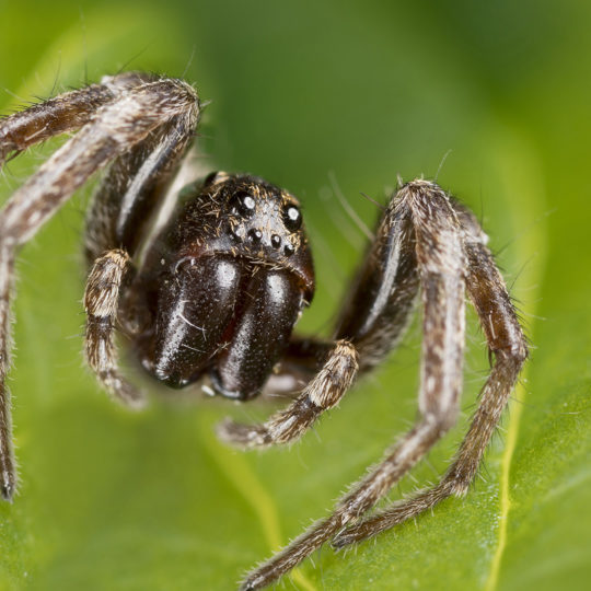 Spider Spotlight: Wolf Spiders