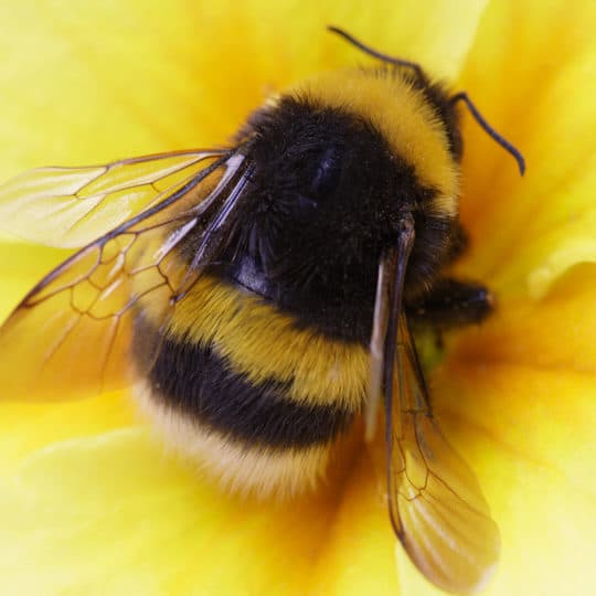 do bees hibernate