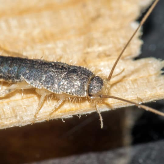 Do Silverfish Eat Paper?