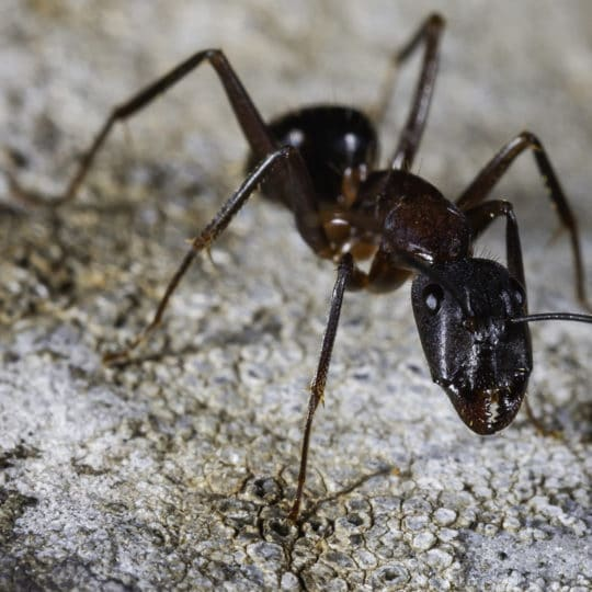 Ant Spotlight: The Carpenter Ant