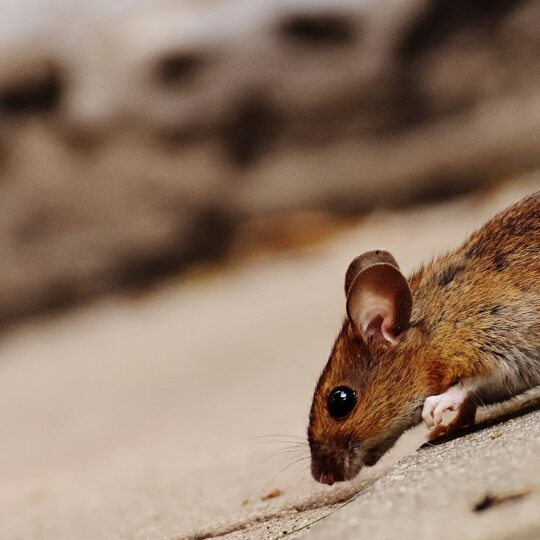 Mice vs Rats – Different Pests With Similar Behaviors
